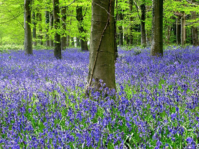 Bluebells in Great Coll Wood Winterborne Tomson, Dorset