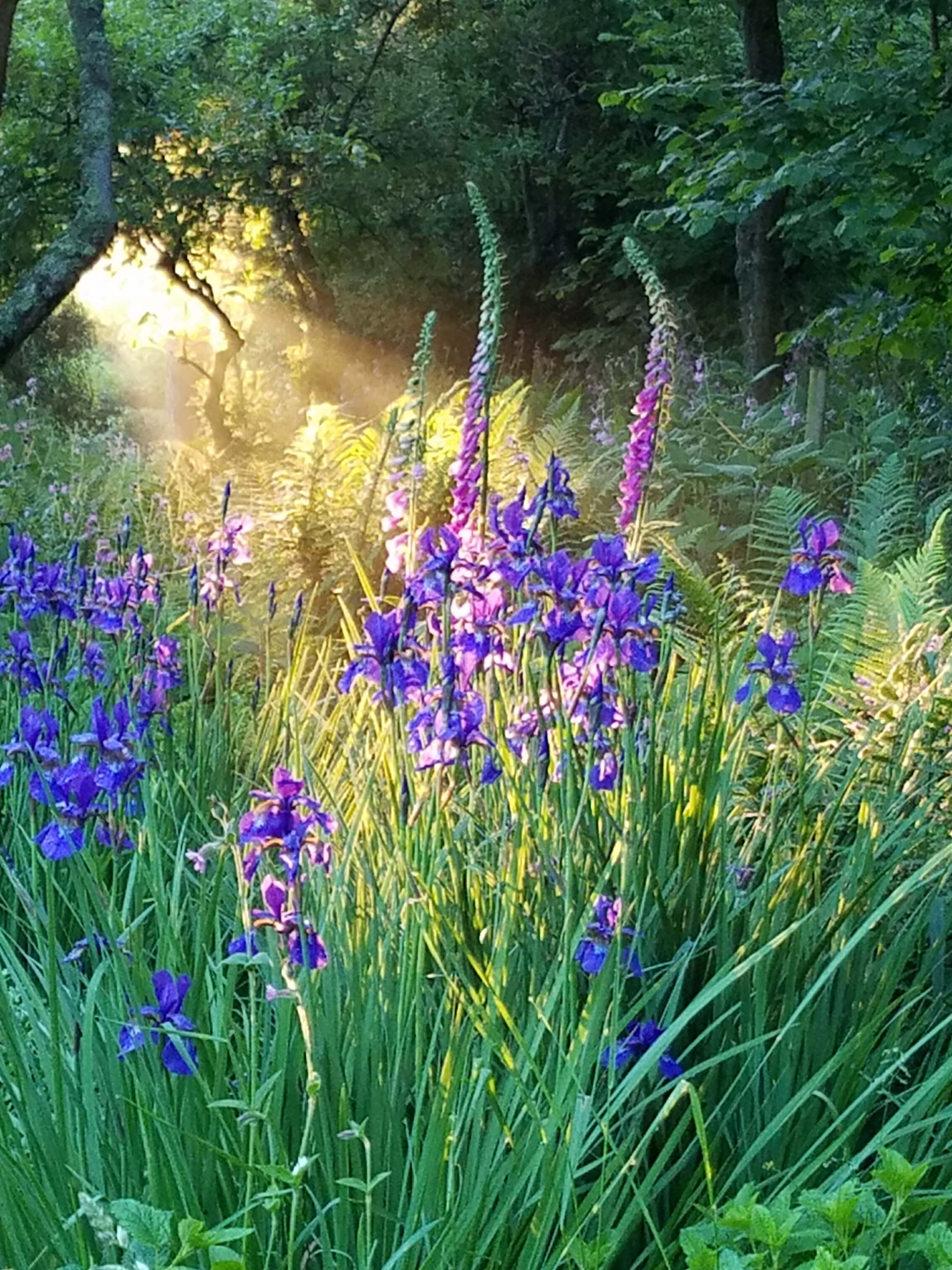 Sunset casts its magic over irises and foxgloves in Ringstead