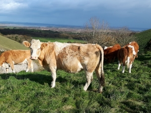 Cattle on Knowle Hill, Purbeck
