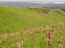 View towards Poole harbour from Purbeck Ridgeway with orchids in foreground