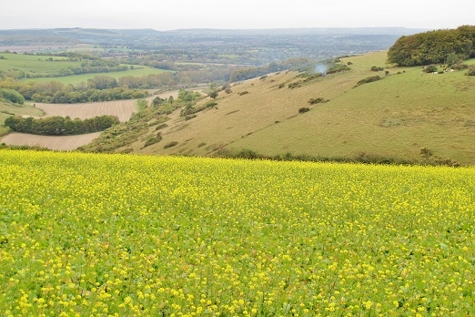 Fontmell Down. Taken October 2014 thus the oil seed rape in foreground! Rare to see in autumn.
